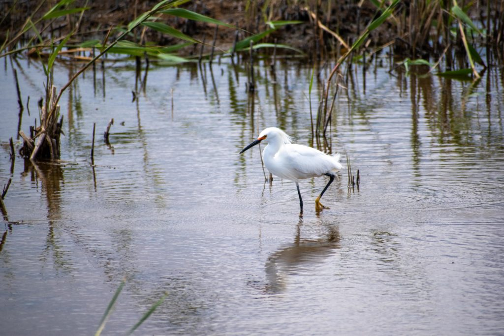 Snowy Egret Wading photo